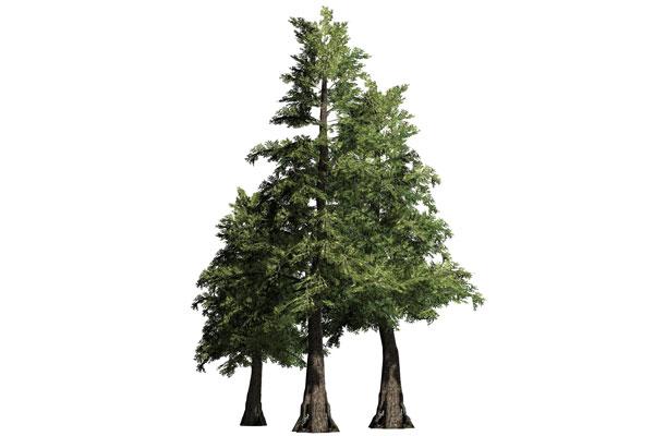 Cedar-Trees