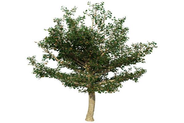 Sycamore-Tree